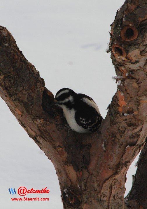 Hairy Woodpecker PFW0004.JPG