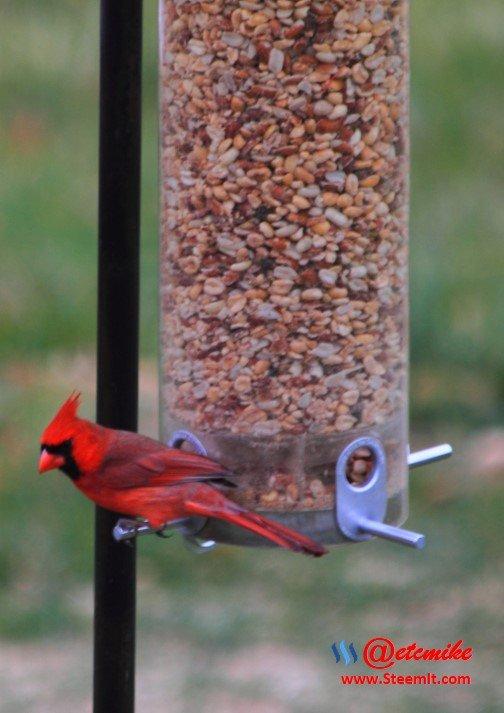 PFW0017.JPG Northern Cardinal