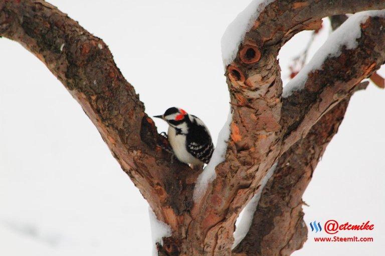 PFW0110.JPG Downy Woodpecker