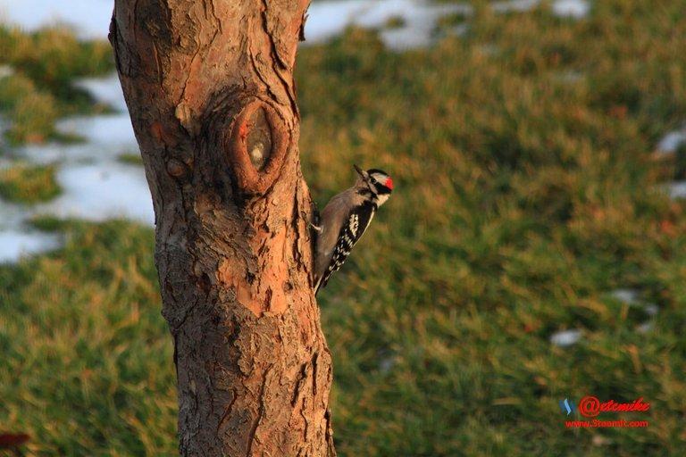 Downy Woodpecker PFW0048.JPG