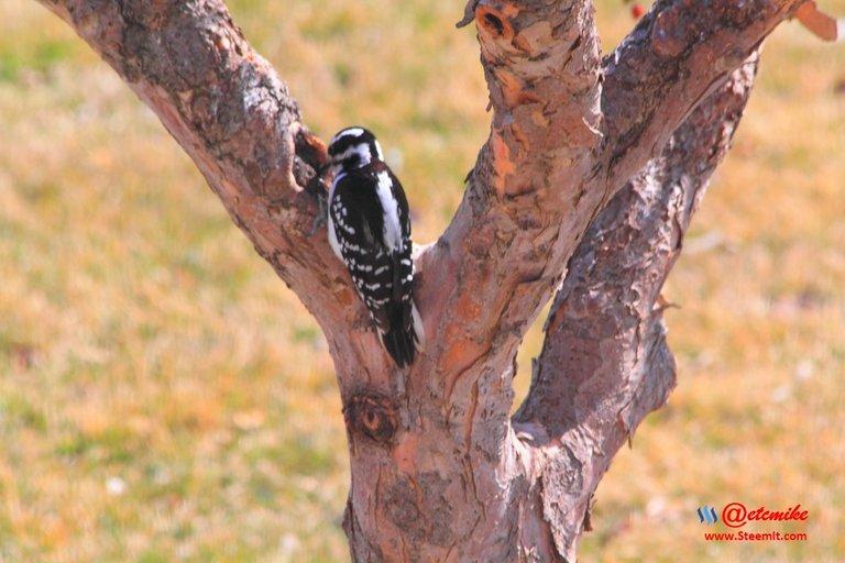 Hairy Woodpecker PFW0008.JPG