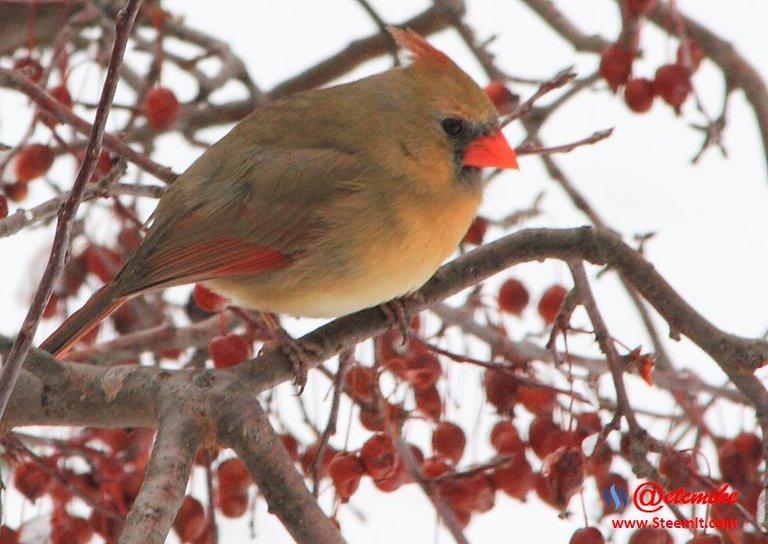 PFW0064.JPG Northern Cardinal