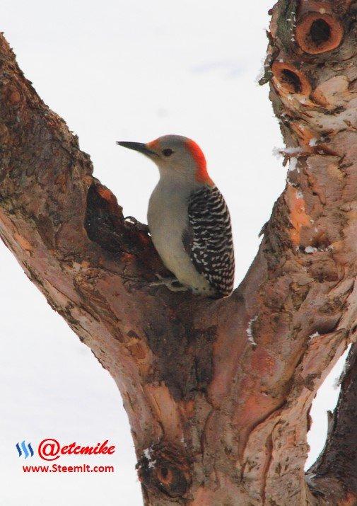 Red-bellied Woodpecker PFW0008.JPG
