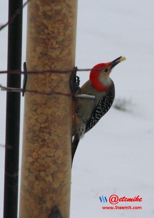 PFW0074.JPG Red-bellied Woodpecker