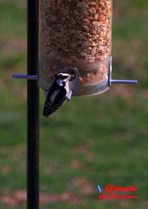 Downy Woodpecker PFW0019.JPG
