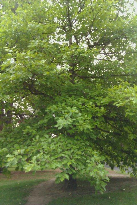 oak 1.jpg