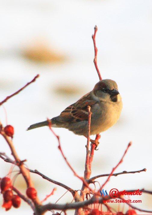 House Sparrow PFW0032.JPG