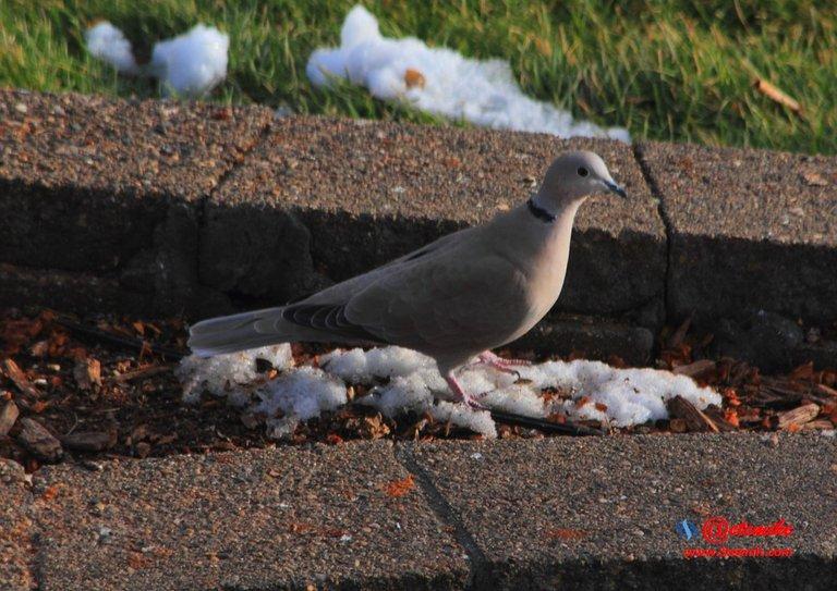 Eurasian Collared-Dove PFW0008.JPG