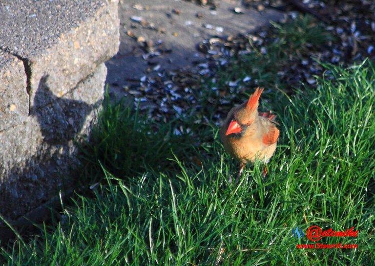 Northern Cardinal PFW0087.JPG