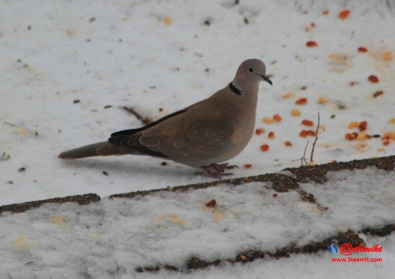 Eurasian Collared-Dove PFW0004.JPG