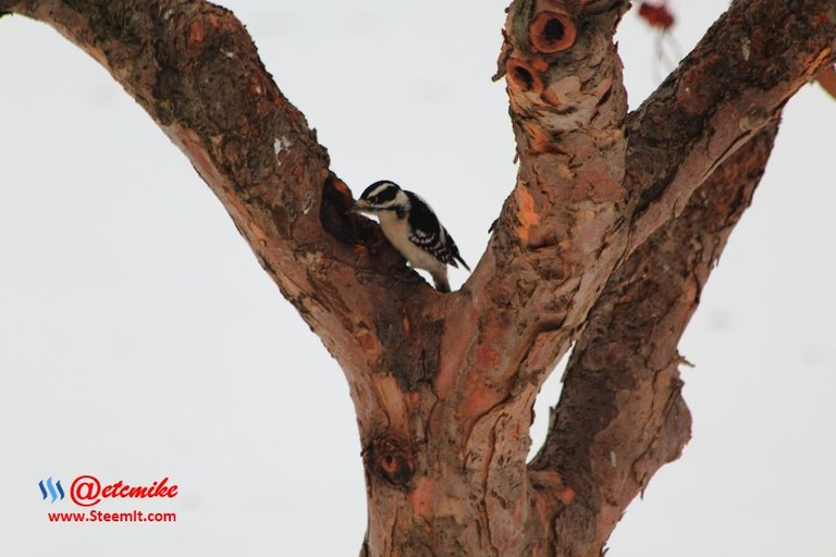 Downy Woodpecker PFW0026.JPG