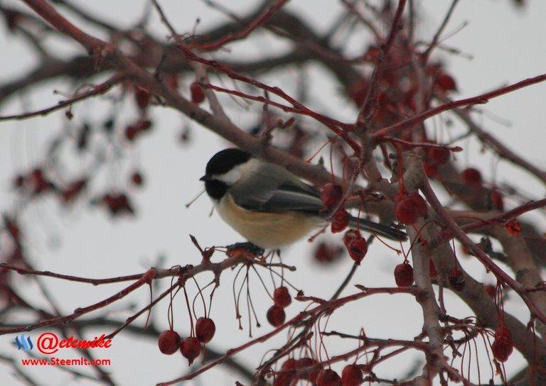 Black-capped Chickadee PFW0013.JPG