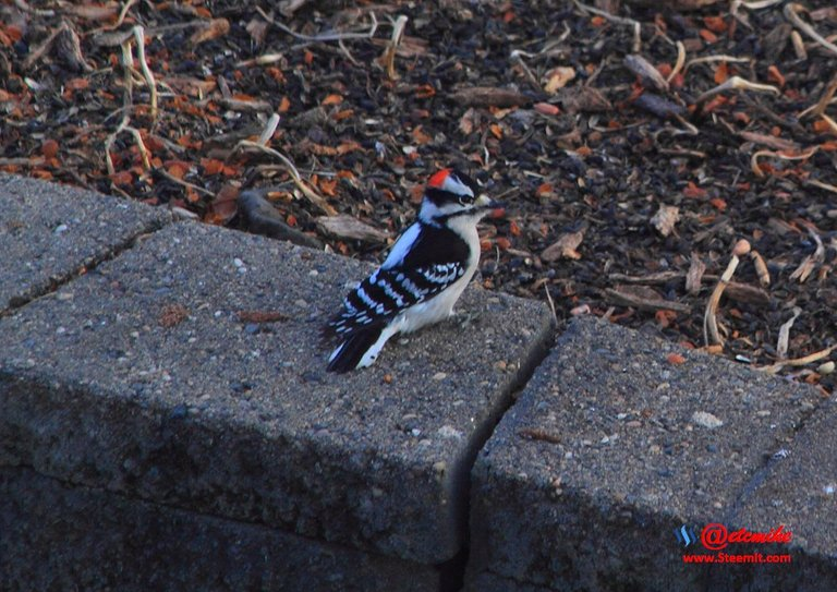 Downy Woodpecker PFW0010.JPG