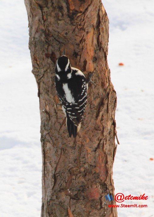 Hairy Woodpecker PFW0012.JPG