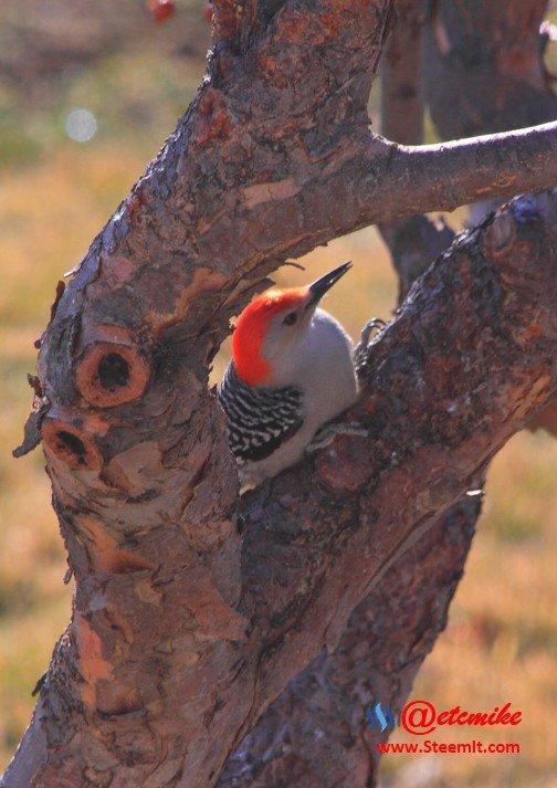 Red-bellied Woodpecker PFW0003.JPG