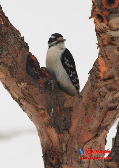 Hairy Woodpecker PFW0024.JPG