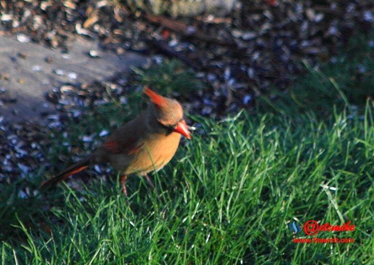 Northern Cardinal PFW0086.JPG