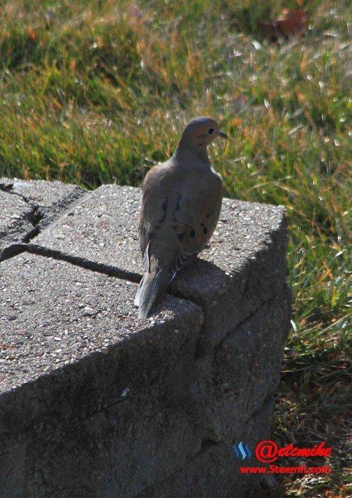 Mourning Dove PFW0023.JPG