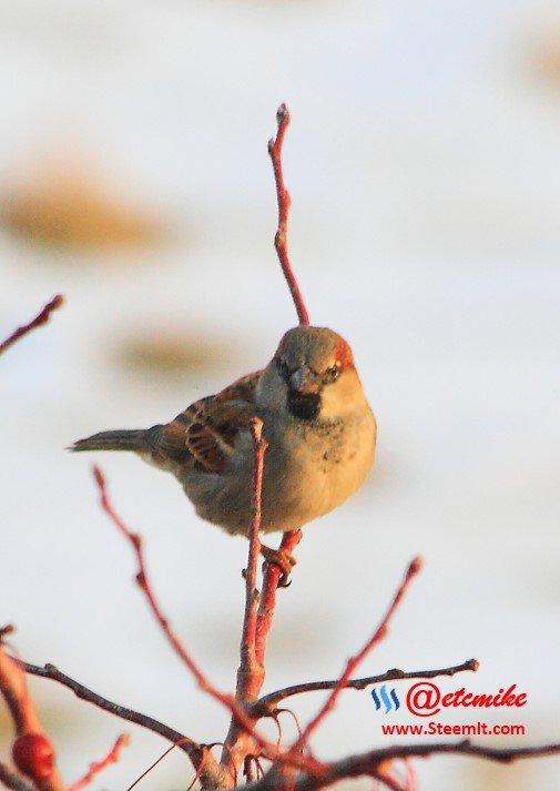 House Sparrow PFW0040.JPG
