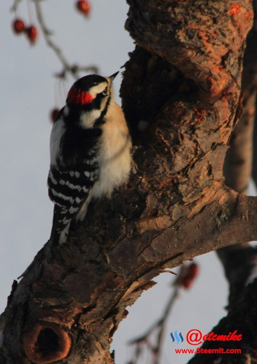Downy Woodpecker PFW0117.JPG