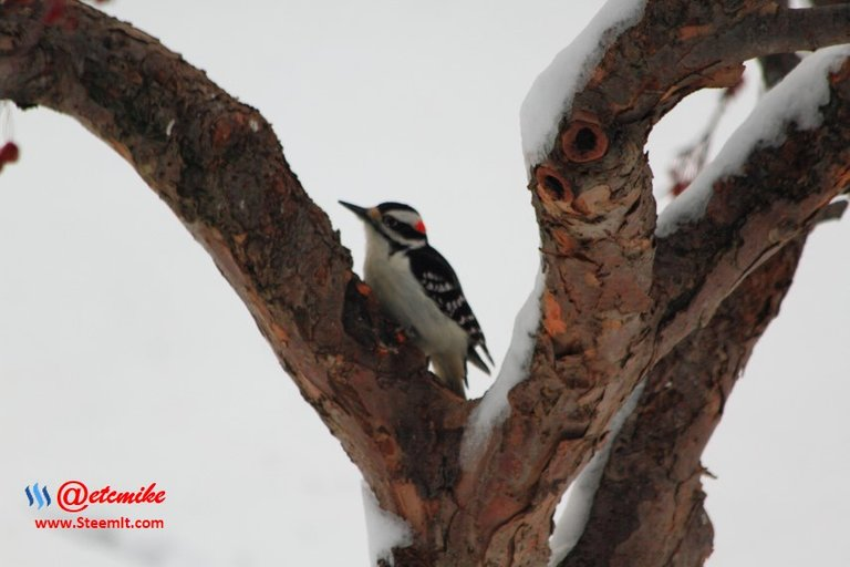 PFW0120.JPG Downy Woodpecker