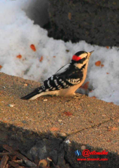 Downy Woodpecker PFW0044.JPG