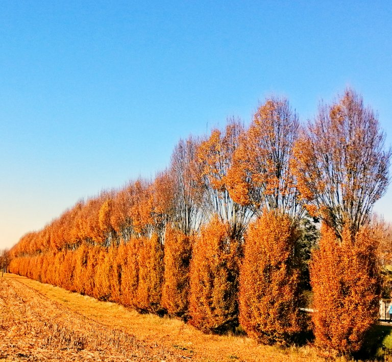 Trees-soldiers well lined up