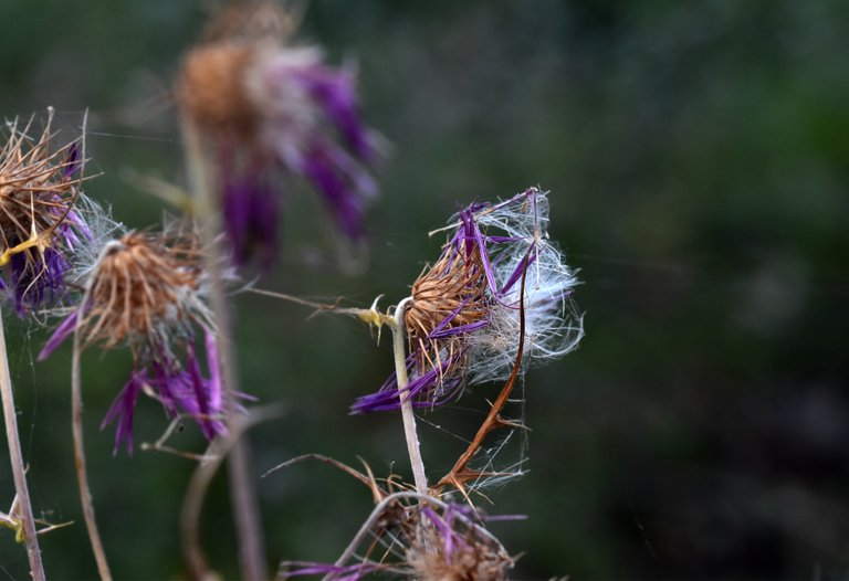 thistle fluffy seed pods 8.jpg
