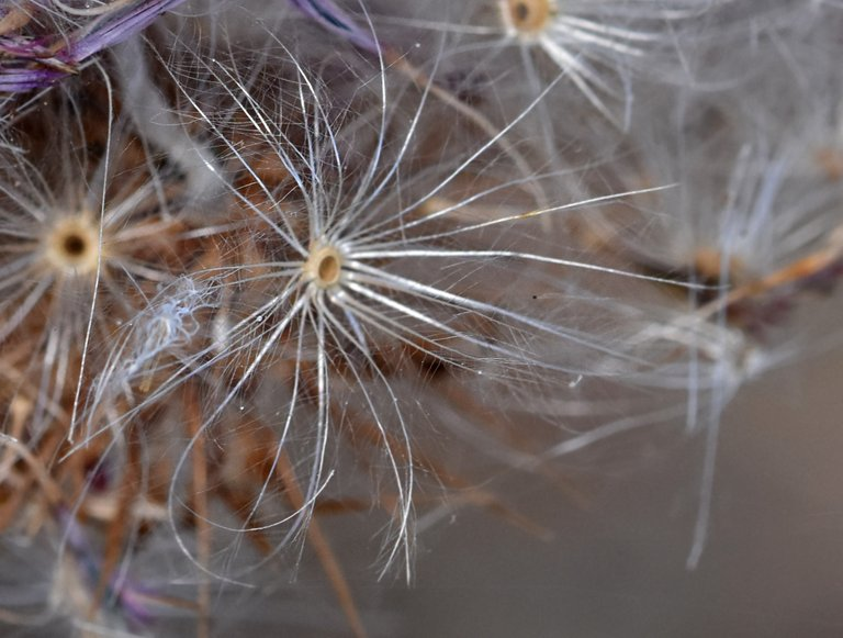 thistle fluffy seed pods 1.jpg