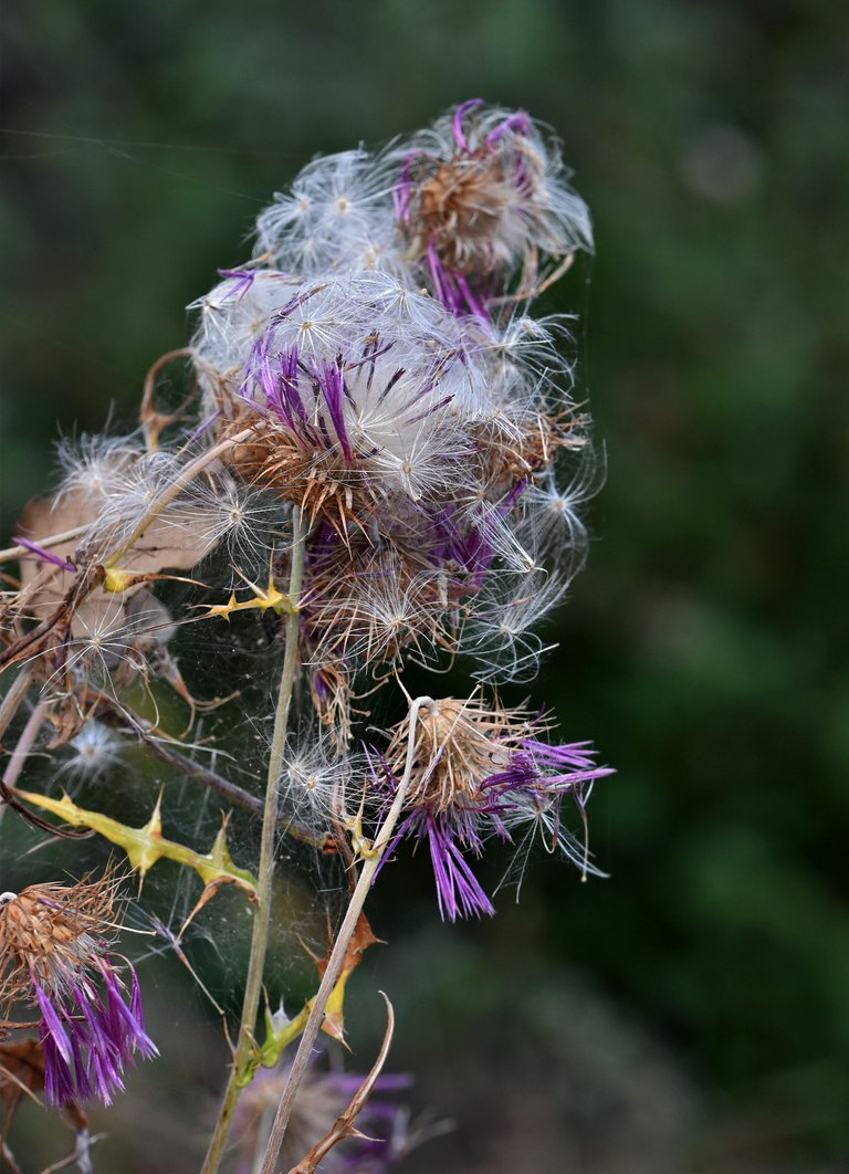 thistle fluffy seed pods 6.jpg