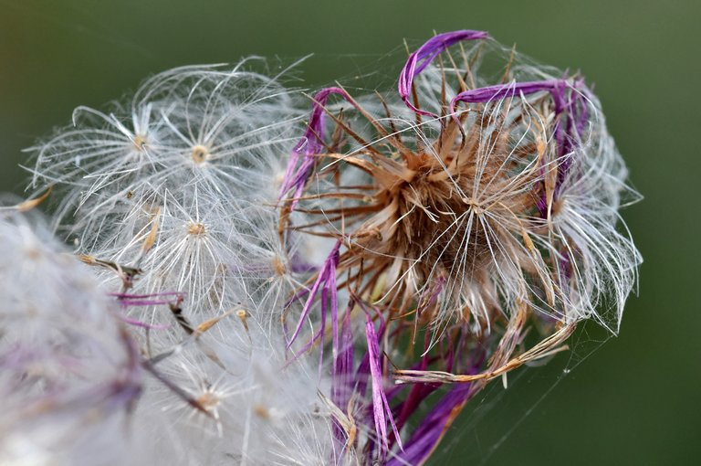 thistle fluffy seed pods 3.jpg