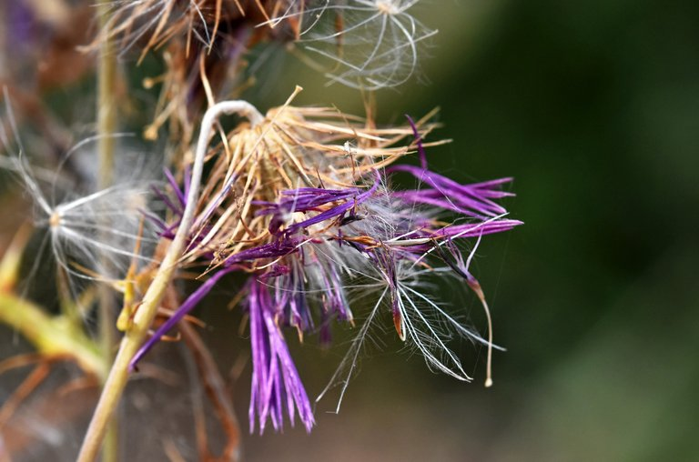 thistle fluffy seed pods 2.jpg