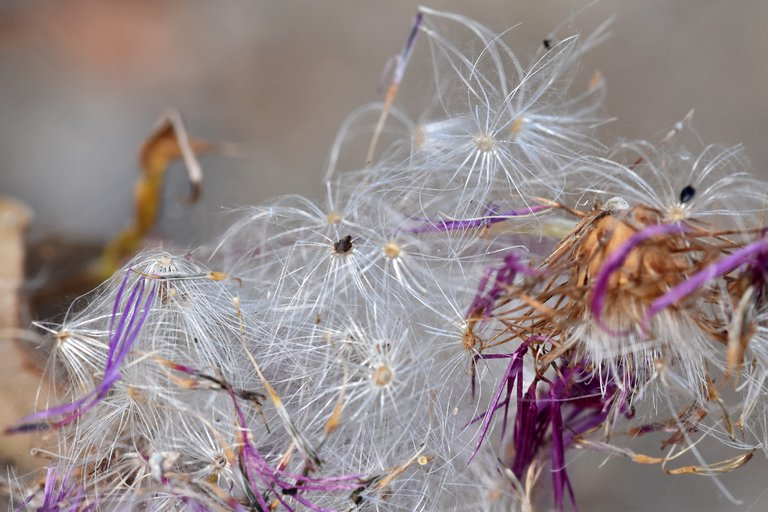 thistle fluffy seed pods 4.jpg
