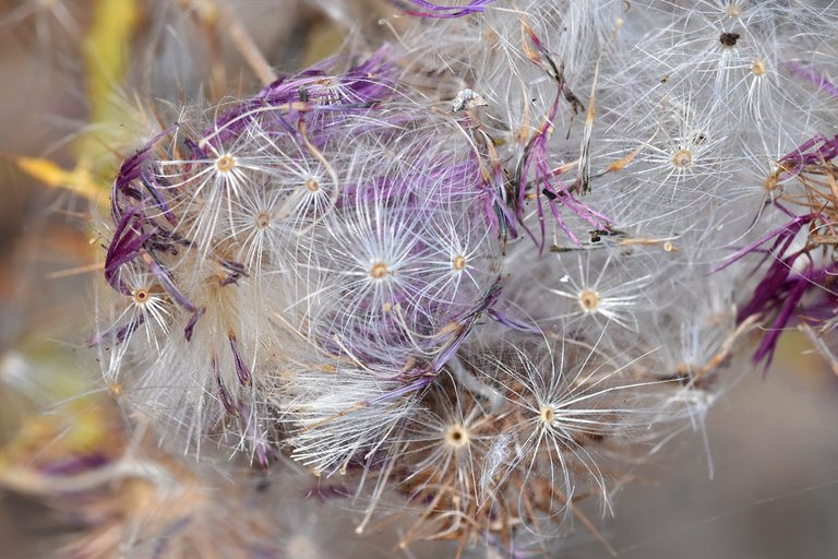 thistle fluffy seed pods 5.jpg