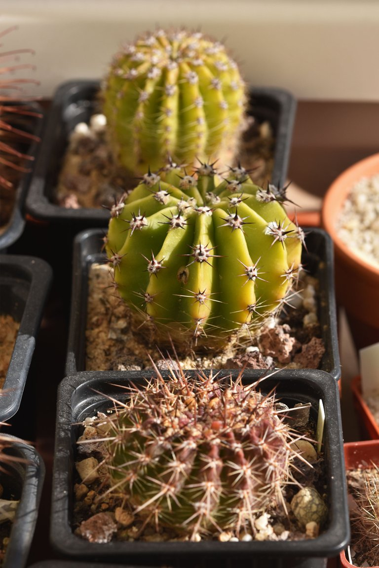 cacti from seeds tray 2021.jpg