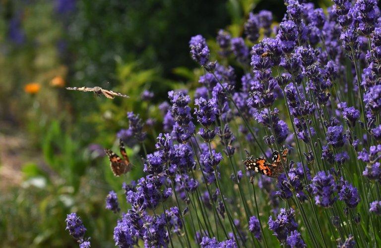Butterflies landing lavender.jpg