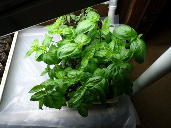 Basil crop May 2020.jpg