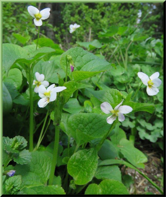 close up 5 white violets.JPG