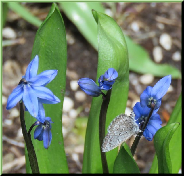 butterfly on blue squills.JPG