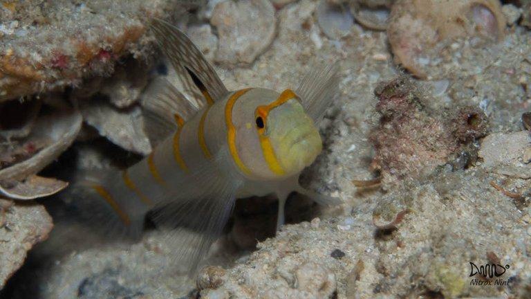 Shrimpgoby 03 Prawngobu.jpg