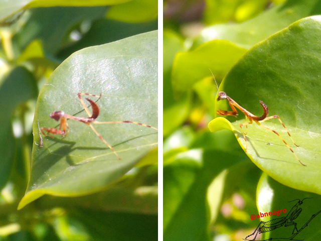 Mantidae 4.png