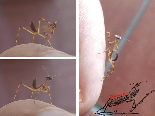 Mantidae 2.png