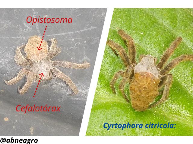 Araneidae(3).png