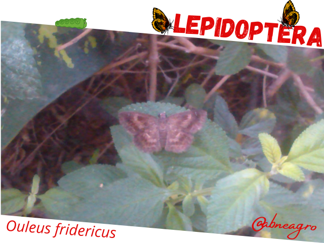 Lepidoptera3.png