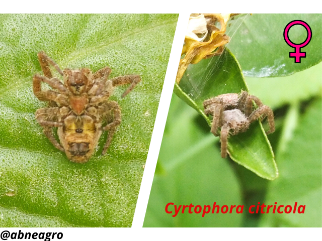 Araneidae(6).png