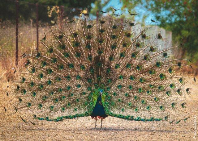 peacocks-001.jpg