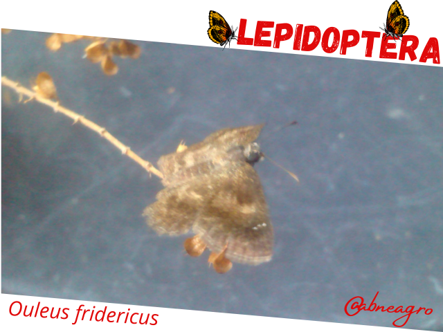 Lepidoptera5.png