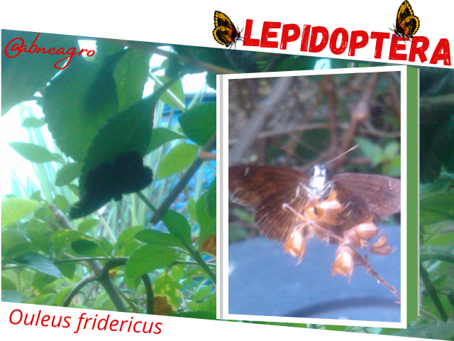 Lepidoptera4.png