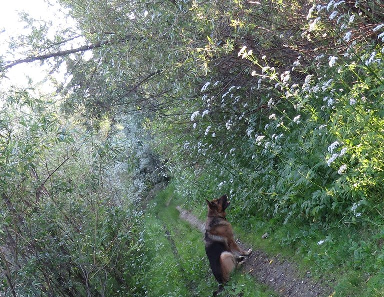 Bruno sitting on lane sunling beaming through willows valerian blossoms.JPG