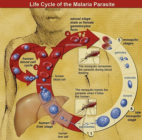 The life cycle of malaria parasites. A mosquito causes an infection by a bite. First, sporozoites enter the bloodstream, and migrate to the liver. They infect liver cells, where they multiply into merozoites, rupture the liver cells, and return to the bloodstream. The merozoites infect red blood cells, where they develop into ring forms, trophozoites and schizonts that in turn produce further merozoites. Sexual forms are also produced, which, if taken up by a mosquito, infects the insect and continue the life cycle.